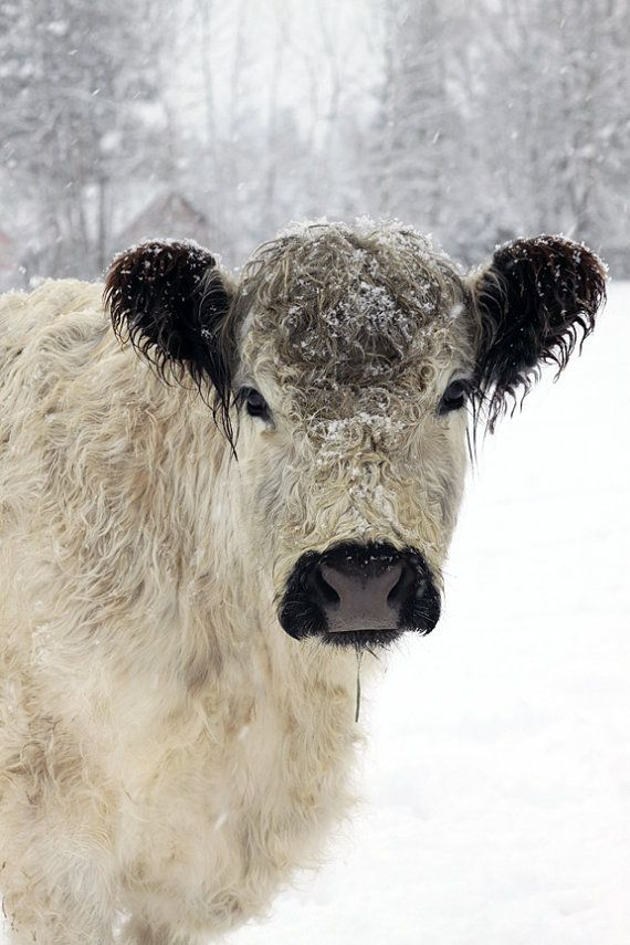 White Cow in the Snow Animal Photography by lucysnowephotography