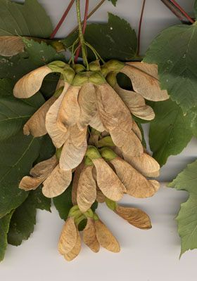 """ERABLE SYCOMORE (acer) L'ingestion des fruits (samares) et des feuilles est à l'origine de la """"myopathie atypique"""", dont l'origine a été  découverte (2013). La toxine """"hypoglycine A"""" est contenue dans les graines des fruits. La maladie généralement fatale se caractérise par la dégénérescence sévère des muscles dont ceux intervenant dans la respiration, la posture, atteignant aussi le muscle cardiaque.Dissémination des fruits par le vent   de la zone où sont présents les arbres sycomores."""