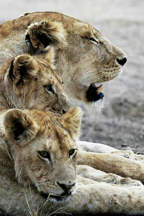 Lion pride at rest.  Tanzania, Africa