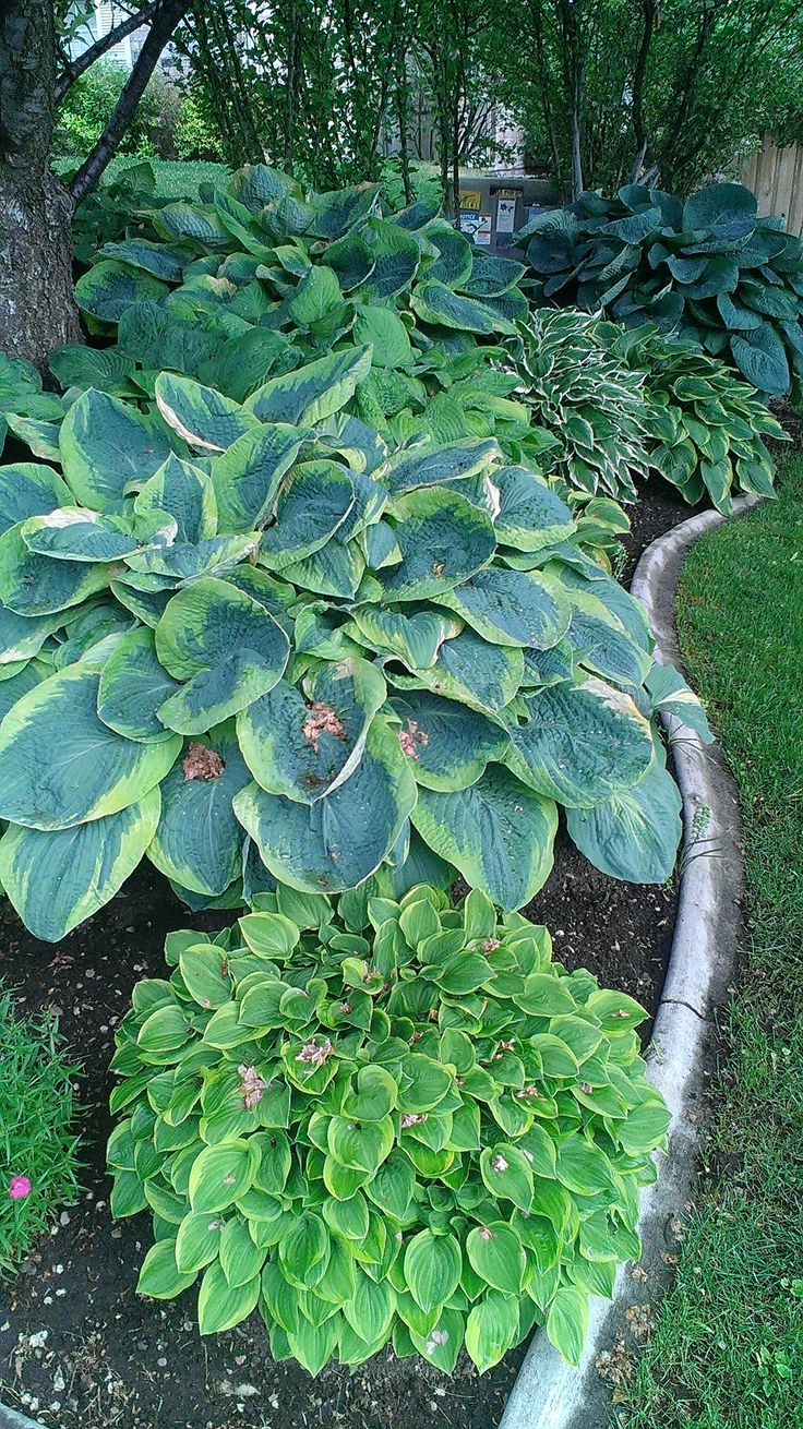 Hosta plants for shady border viewed from back deck and porch