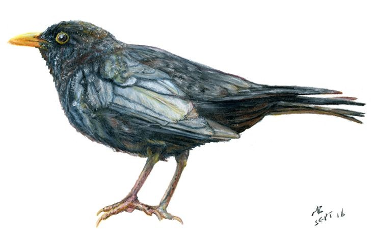 Blackbird, Watercolour Pencil Drawing #drawing #pencildrawing #art #artwork #watercolourpencils #blackbird #bird #birds