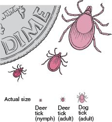 Deer ticks are known to carry Lyme disease and other bacteria. Use this guide so you can distinguish a deer tick from other ticks.