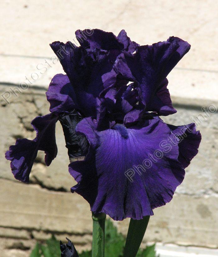 Кингс Трибьют (King's Tribute) - это ирис Шрейнера (Schreiner), выведенный в 1984 году. Родительские сорта: Dark Triumph X Navy Strut. Высота стебля этого ириса составляет 100-120 см. Цветки тёмные, фиолетово-синие, с такими же тёмными бородками.