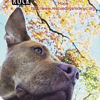 Pictures of Hope a Pit Bull Terrier Mix for adoption in New York, NY who needs a loving home.