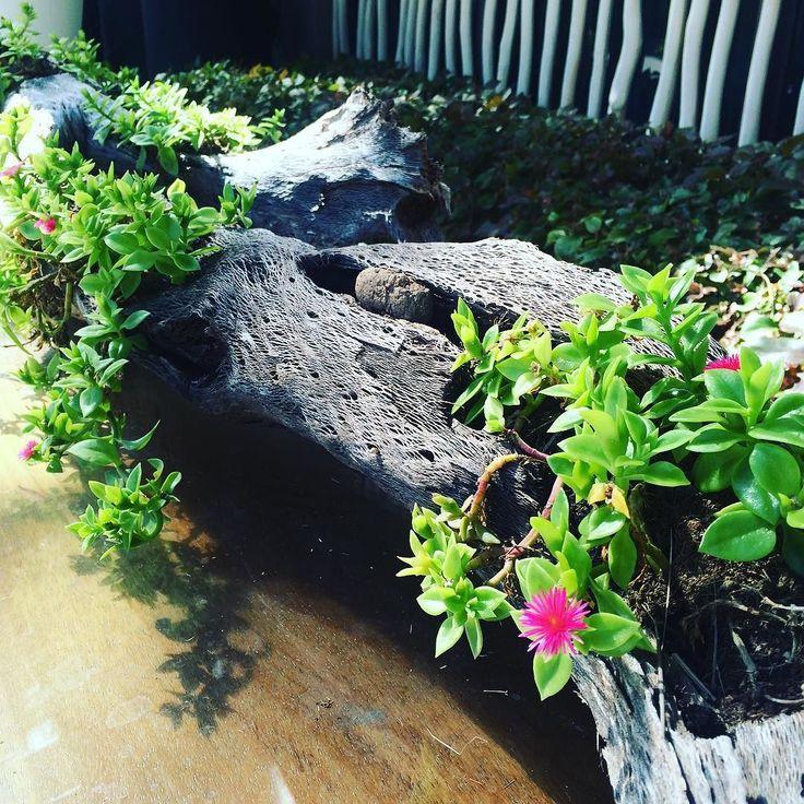 Suculentas sembradas en un tronco una bella idea para - Decorar un jardin ...