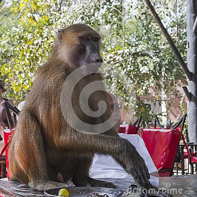 Monkey , male baboon in Makasutu National park in Gambia. Africa. Sitting on a table and steals tourist lunch platter
