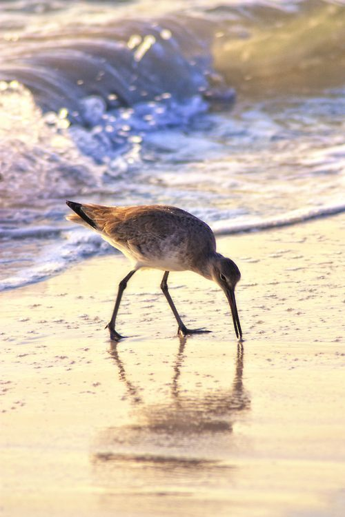 ".I call them ""my little sandpipers"" because they trail along tittering away, oblivious to my rapturous joy at being here, and hearing their dear little titterings...I feel so close to the Creator when I walk on his beaches."