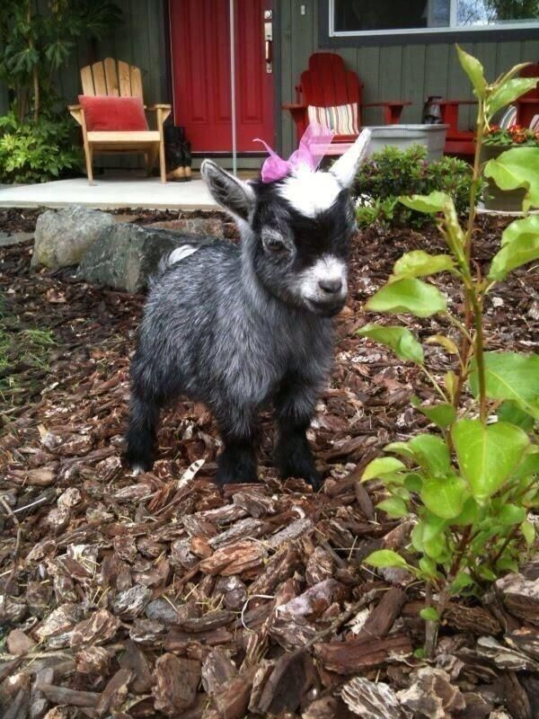 Baby goat with a bow @Katt B Again haha how did i miss this? i probably didn;t :) not one to miss a baby goat with a bow!
