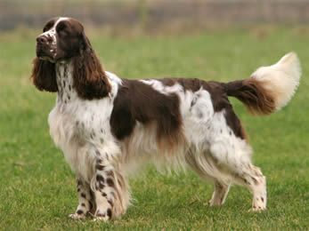 English Springer Spaniel.  Beautiful springer spaniel with a full tail as nature intended!  STOP DOCKING THEIR TAILS!