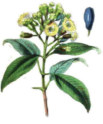 Clavo (características,propiedades medicinales,contraindicaciones, recetas)
