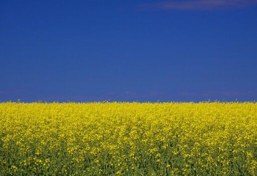 Toodyay, WA - A field of canola. Image via Flickr