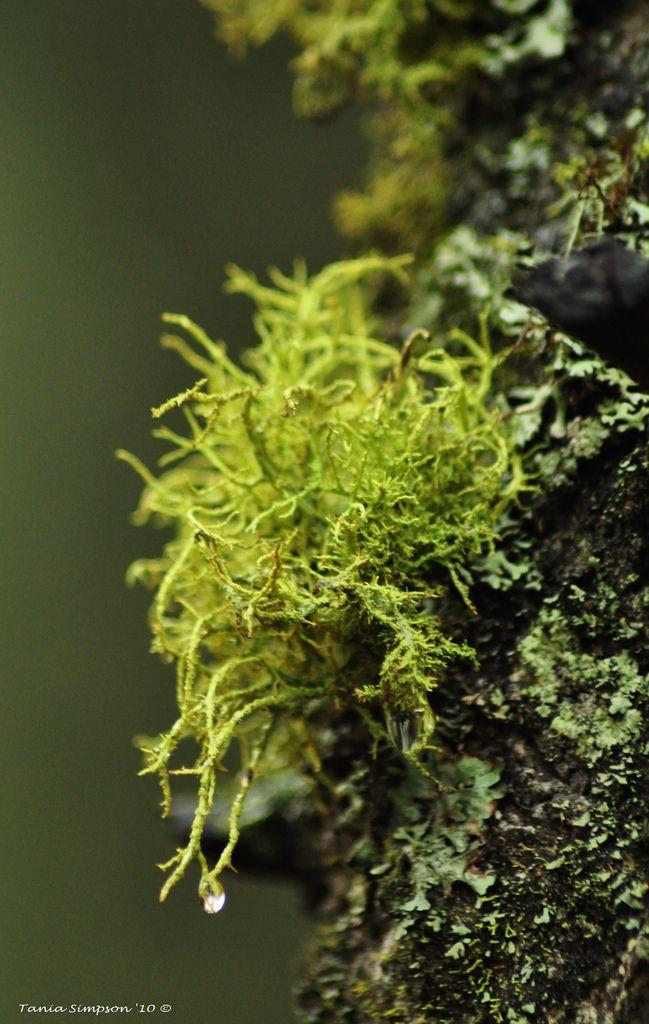 Wolf Lichen (Letharia Vulpina)   Flickr - Photo Sharing!
