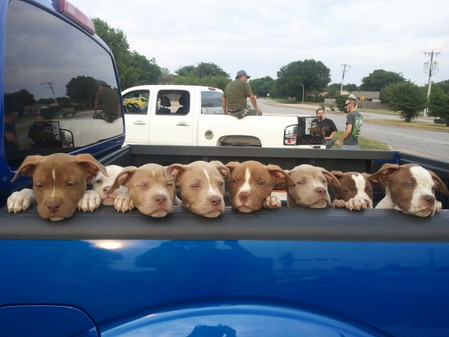 Pit bulls! Pit bulls everywhere!
