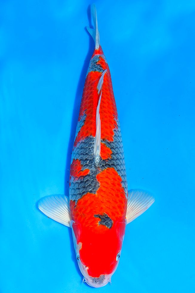 16 best nishikigoi variety goshiki images on pinterest for Koi 313 somerset