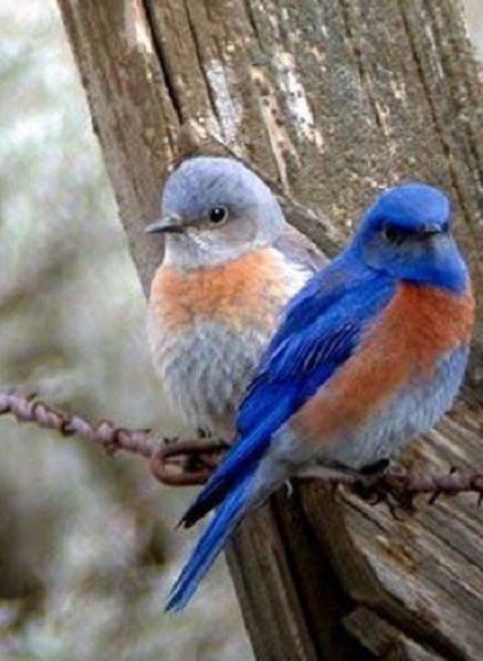 Bluebird couple ~ sweet