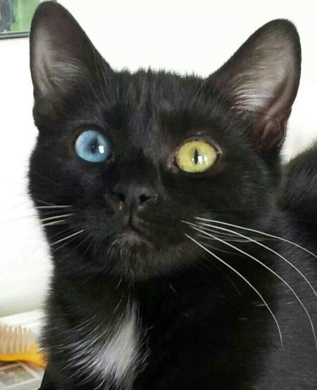 Best Cats Cat Color Genetics Images On Pinterest Kitty Cats - Meet scrappy 19 year old black cat grew unique marble fur due rare skin condition