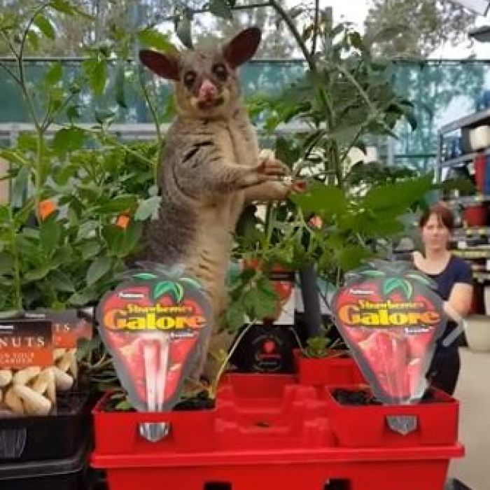 A possum caught on camera feasting on a smorgasbord of greenery at a Brisbane Bunnings is most likely just looking for a source of water, an expert says.