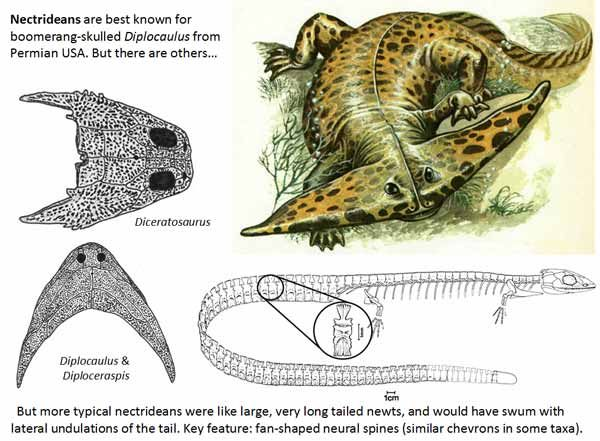 Diplocaulus – the most famous nectridean – is typically portrayed as here. However, fossils show that these 'horned' nectrideans actually had skin webs connecting the tips of their 'horns' to their bodies.