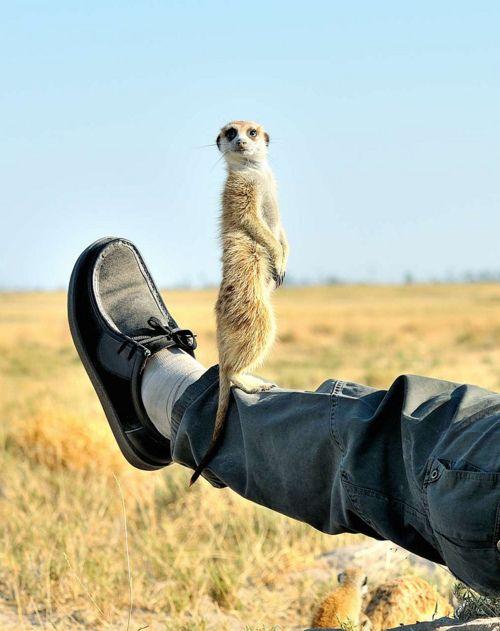 Meerkat on leg: Animal Planets, Animal Pics, Dogs Fun, Wild Animal, Cute Animal, Funny Pics, John Kok, Funny Animal, Furry Friends