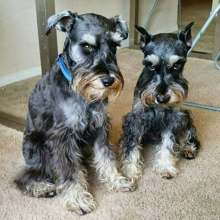 See this Instagram photo by @schnauzerworld • 5,607 likes