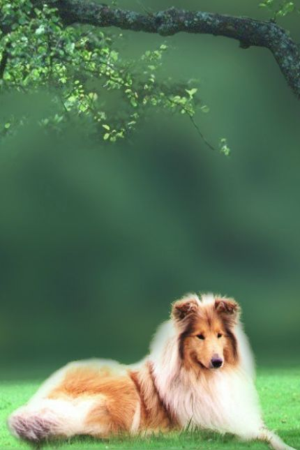Lassie >>> When I was a little girl, more than anything else, I wanted a dog like this.