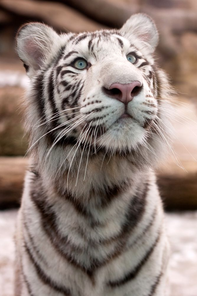 19 best images about white bengel tiger {cate} on ...