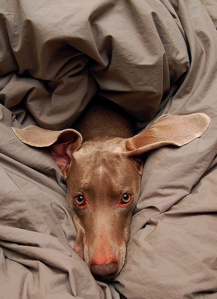 So sweet .....weimaraners are an outstanding breed and addition to any family, but expect a high energy dog that needs a fenced yard to run.