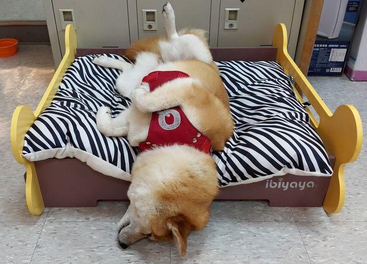 zzZZzzzzZZZzZZzzZZ #shibainu #sleepy #ibiyaya #dogbed #petbed