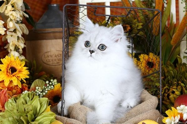 Teacup Persian kittens for sale | Himalayan Kittens for SaleSuperior Quality Teacup Persian Kittens For Sale