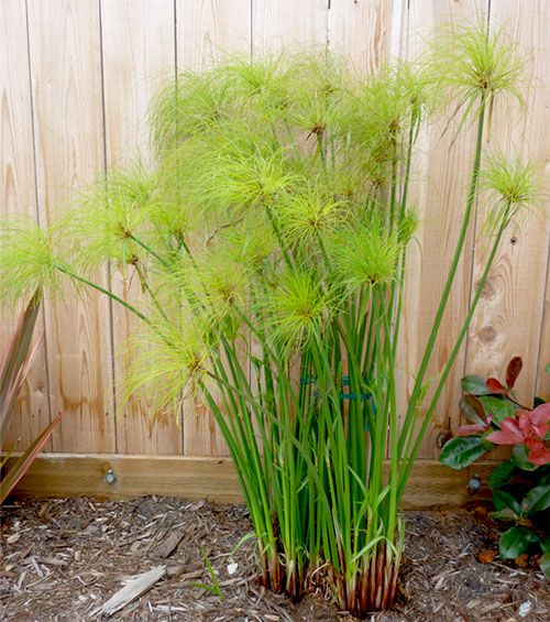 Egyptian Paper Reed (Cyperus Papyrus)