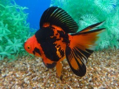 Les 25 meilleures id es de la cat gorie poisson rouge for Pesce rosso butterfly