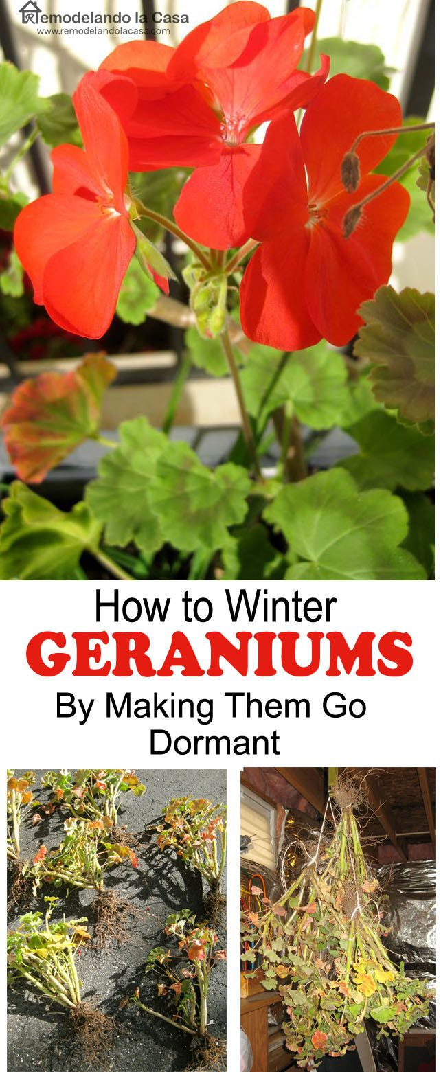 How to Winter Geraniums by Making them go Dormant - Easier than I thought!