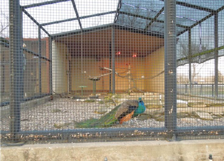 H Town West Photo Blog Peacock In The Aviary Pics From