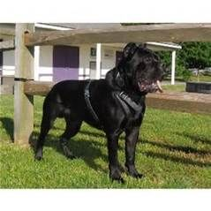 Cane Corsos for sale in New Jersey