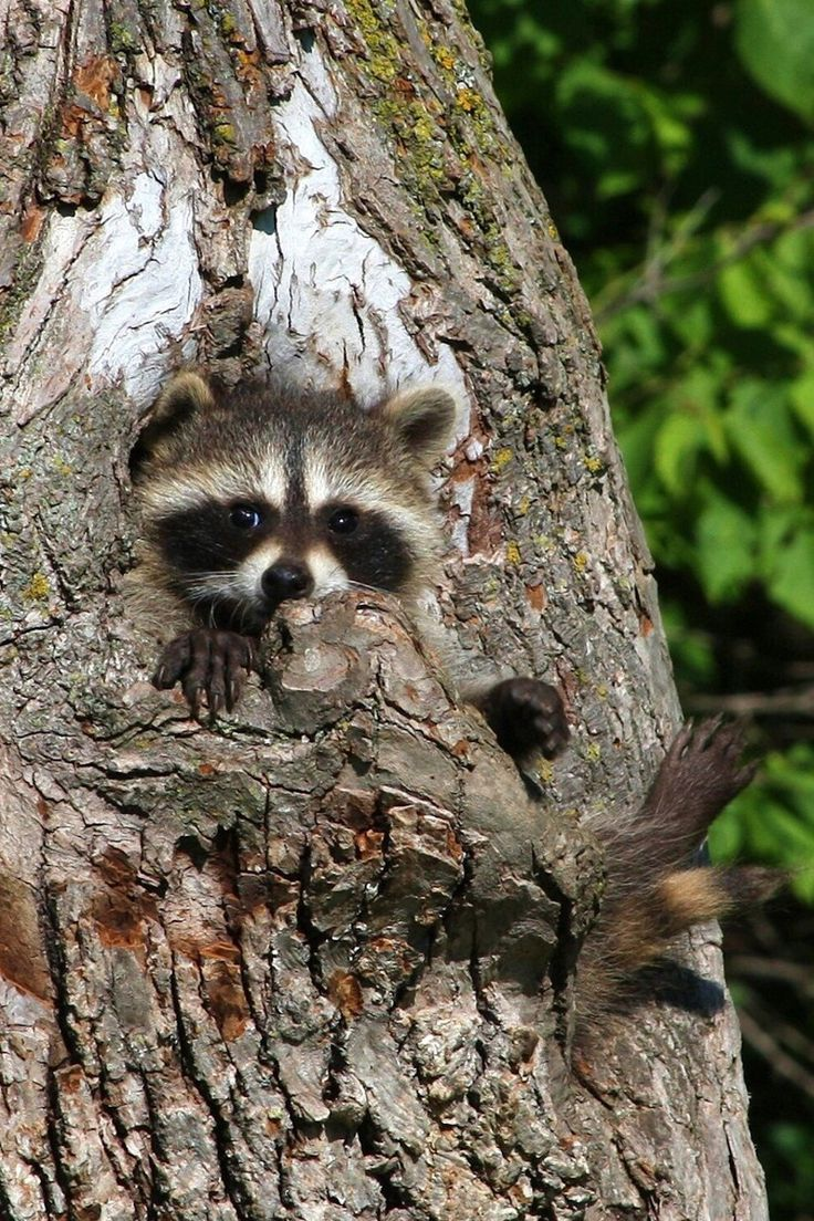 Baby women down jackets Raccoon Hannah   the and Pets Raccoons  on Animal and  Payne sale   Kingdom Trees