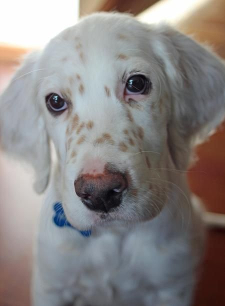 via the daily puppy  Puppy Breed: English Setter    My name is Gunster and I'm adorable. I know this is true because my mom and dad tell me this all the time. I love things that squeak. I also love water bottles; they are so fun to crunch and throw around. I love cuddling on my mom and dad's lap but I know I will eventually be too big for that so I'm taking full advantage now.