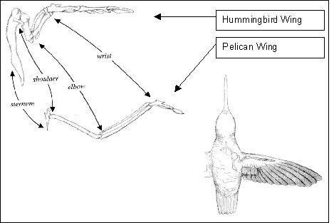 13 Best Wing References Images On Pinterest Wing Anatomy Animal