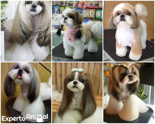 5 Types Of Haircuts For A Shih Tzu Shih Tzu Puppy Shih Tzu Dog