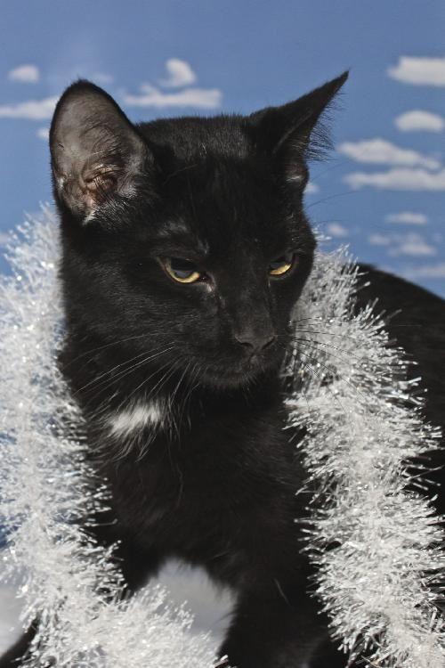 Andy the Bobtail /  Manx   Kitten