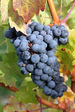 Grape Seed Extract Effective In Colorectal Cancer Treatment