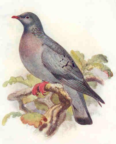 Vintage print of Stock Dove