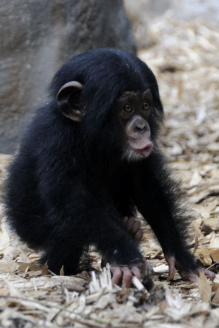 Baby Chimp. #cuteanimals #funnyanimals #animallovers #Animals,…