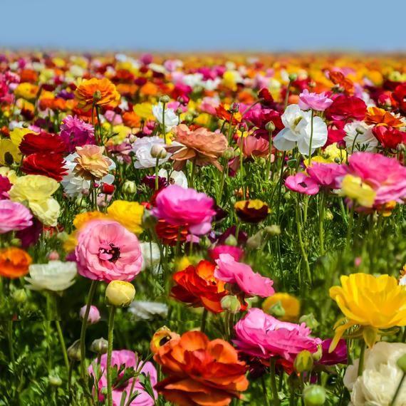 Ranunculus Tecolote Flower Fields 30 Bulbs In 2020 Carlsbad Flower Fields Easy To Grow Bulbs Flower Field