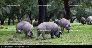 ...y en Huelva hay una Encinasola, que alimenta a más de mil cochinos.