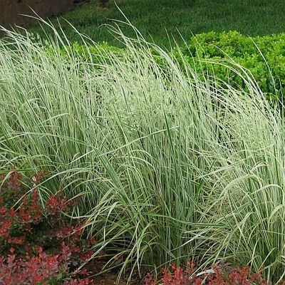 83 best images about ornamental grasses on pinterest sun for Variegated ornamental grass