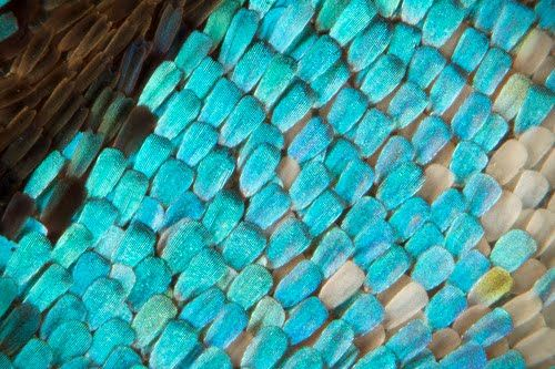 #Butterfly #wing scales closeup #turquoise butterflies