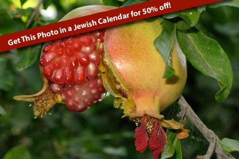 Jodi Sugar took this great photo of a luscious pomegranate and is available to hang in your home in a Jewish Calendar for sale now for 50% off!  This 5773 Jewish Calendar for September 2012 - September 2013 features more gorgeous photos of Israel by Jodi along with Shabbat candle lighting times and an Israel resource guide. The Calendar is marked down 50% off the original price and is now only $10! Order today and this beautiful calendar will be shipped to your home anywhere in the world.