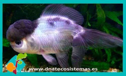 oranda-panda-7-8cm-tienda-online-peces-venta-de-peces-compra-de-peces-online-peces-baratos