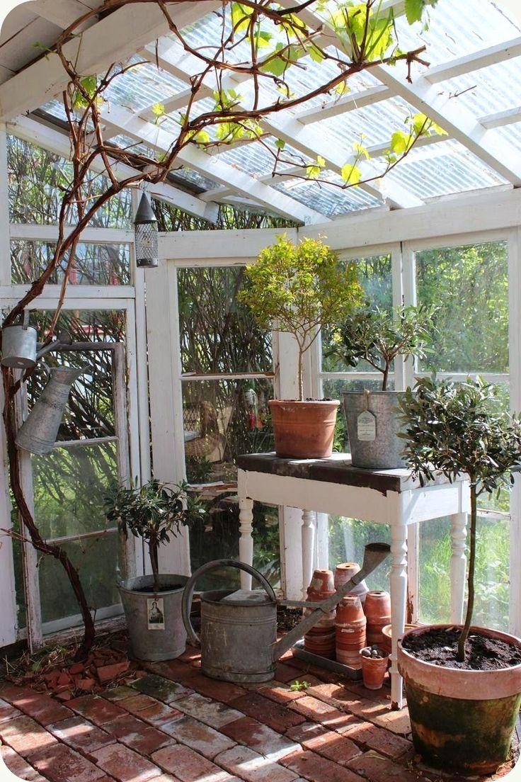 grapevine in the greenhouse.