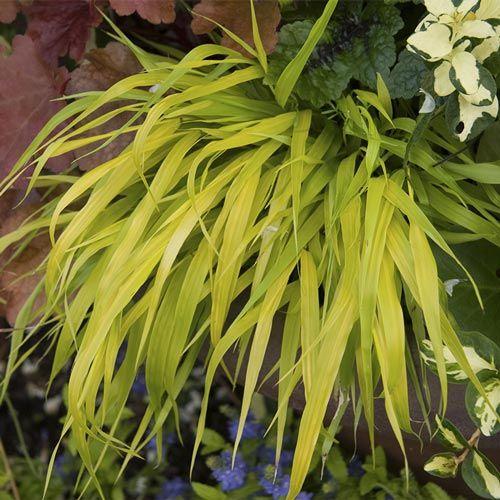 Gold Japanese Forest Grass Perennial| Spring Hill Nurseries